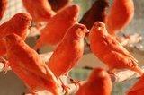 Prachtige intensief vetstof rode kanaries _