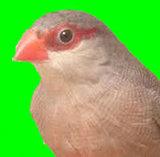 Prachtige koppels sint helena fazantjes  _