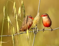 Prachtige koppels sint helena fazantjes